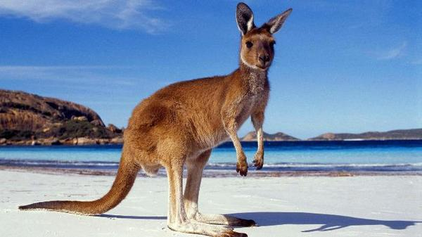 Junior Kangaroo